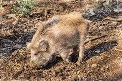 Scrofa för vildsvinsusscrofa i trät som söker för mat Arkivfoton