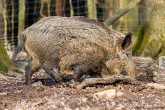 Scrofa för vildsvinsusscrofa i trät som söker för mat Arkivfoto