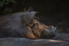 Scrofa f del Sus del cerdo del Duroc-Jersey domesticus imágenes de archivo libres de regalías