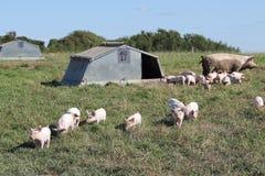 Scrofa organica con i porcellini Immagine Stock