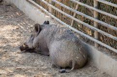 Scrofa van everzwijnsus bij dierentuin royalty-vrije stock fotografie