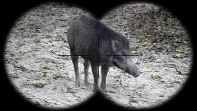 Scrofa van Everzwijnsus door Verrekijkers wordt gezien die Het letten op Dieren bij het Wildsafari stock video
