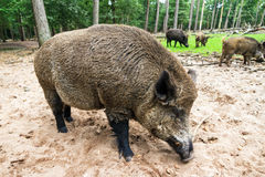 Scrofa wild boar Royalty Free Stock Images
