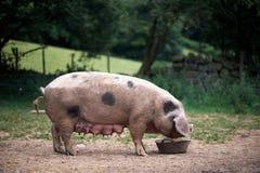 Scrofadomestica van biggetjesus bij een organisch landbouwbedrijf Stock Foto