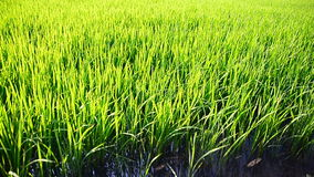 Scrolling panning shot rice fields green and natural organic in Thailand. Scrolling panning shot rice fields green and natural organic , Thailand stock video