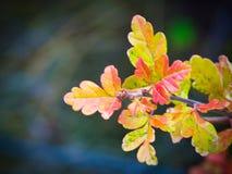 Scrub листья дуба в осени стоковое фото