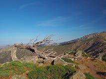 Scrub сухая сосна согнутый делающ окно против голубого неба на предпосылке благоустраивать corsician горы Стоковое Фото