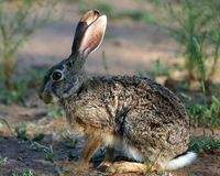 Scrub Hare. Nylsvlei, South Africa Royalty Free Stock Image