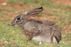 Scrub Hare Royalty Free Stock Photography