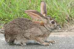 Scrub Hare Royalty Free Stock Photos