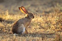 Scrub hare. (Lepus saxatilis) in natural habitat, South Africa stock photos