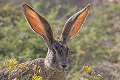 Scrub Hare stock images