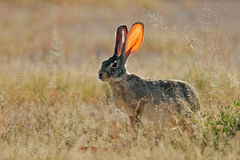 Scrub hare, Etosha National Park, Namibia  Stock Photo
