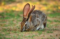 Scrub hare. Feeding on the fresh grass Stock Photography