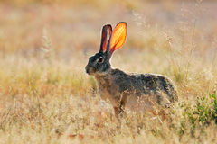 Scrub hare Stock Photos