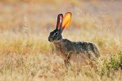 Scrub hare Stock Photos