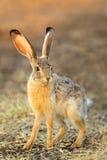Scrub hare. (Lepus saxatilis) in natural habitat, South Africa stock photo