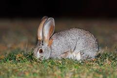 Scrub hare in natural habitat. A scrub hare Lepus saxatilis feeding in natural habitat, South Africa royalty free stock photo