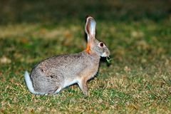 Scrub hare in natural habitat Stock Photo