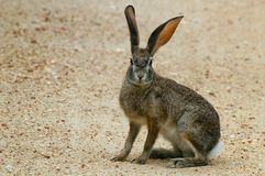 Scrub Hare/Vlakhaas (Lepus Capensis) Royalty Free Stock Photos