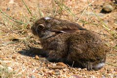 Scrub Hare/Vlakhaas (Lepus Capensis). In Kruger National Park, South Africa stock images