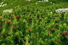 Scrub in High Tatras. Mountains, Slovakia royalty free stock images