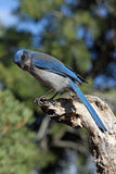Scrub Jay Royalty Free Stock Photos