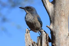 Scrub Jay. On and old tree Stock Photos