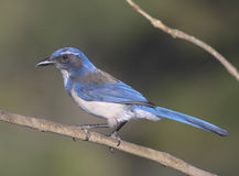 Scrub Jay Royalty Free Stock Images