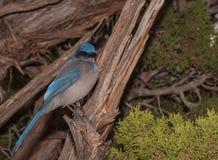 Scrub Jay. (Apelocoma coerulescens) in America's Canyonlands Utah Royalty Free Stock Image