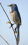 Scrub jay bird. Florida scrub jay bird against blue sky Royalty Free Stock Images