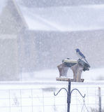 Scrub Jay Bird On Feeder Snowing Royalty Free Stock Photos