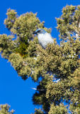 Scrub Jay Blue Bird Great Basin Region Animal Wildlife Stock Images