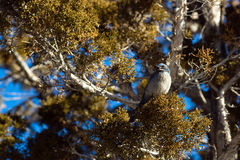 Scrub Jay Blue Bird Great Basin Region Animal Wildlife Stock Photo