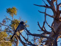 Scrub Jay and Blue Sky stock images