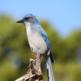 Scrub jay close-up Royalty Free Stock Photos