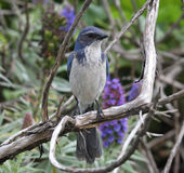 Scrub Jay royalty free stock image