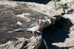 Scrub Jay, Struikgaai, Aphelocoma californica royalty free stock photos