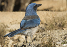 The Scrub Jay Royalty Free Stock Image