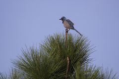 Scrub Jay in a Tree, Florida. Scrub Jay, perched in a pine tree, Rockledge, Florida stock image