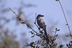 Scrub Jay in a Tree, Florida. Scrub Jay, perched in a tree, Rockledge, Florida royalty free stock photography