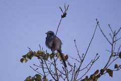 Scrub Jay in a Tree, Florida. Scrub Jay, perched in a tree, Rockledge, Florida Stock Image