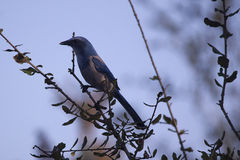 Scrub Jay in a Tree, Florida. Scrub Jay, perched in a tree, Rockledge, Florida stock photography