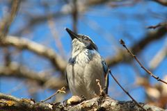 Scrub Jay In a Tree royalty free stock images