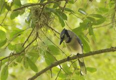 The scrub jay Royalty Free Stock Photo