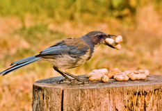 Scrub Jay With Peanuts Royalty Free Stock Image
