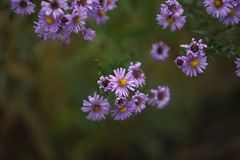 Scrub with lilac flowers close-up Royalty Free Stock Images