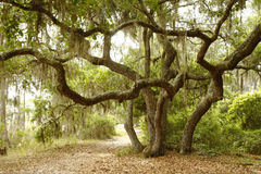 Scrub or Live Oak on Lakeside Path Stock Photos
