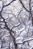 Scrub oak Royalty Free Stock Images