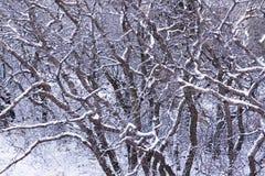 Scrub oak Stock Photography